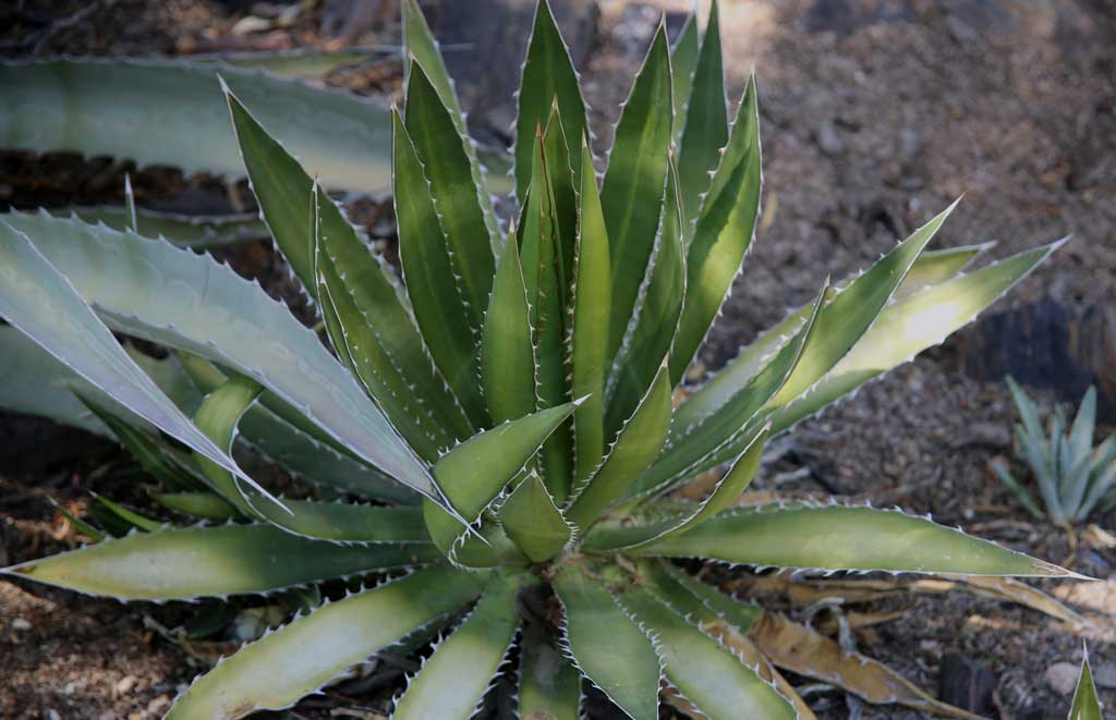 Desert Agave and Desert Aloe